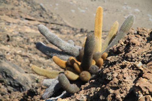Lava cactus on Bartolome Island (2)