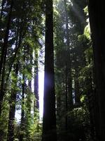 Redwoodwithsun